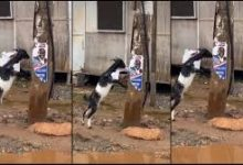 Trending video: Angry goat spotted chewing the campaign poster of Nana Addo 14