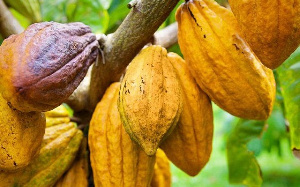 First-ever fine flavour cocoa fermentation centre opens at Offinso 6